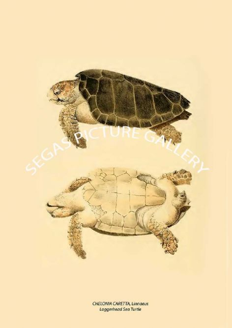 Fine art print of the CHELONIA CARETTA, Linnaeus Loggerhead Sea Turtle by John Edwards Holbrook (1842)